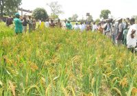 NIGERIA MAKES N150bn FROM PADDY RICE PRODUCTION