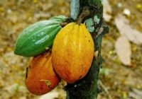 IVORY COAST RIPS OFF 100 000 HECTARES OF COCOA TREE TO STOP VIRUS.